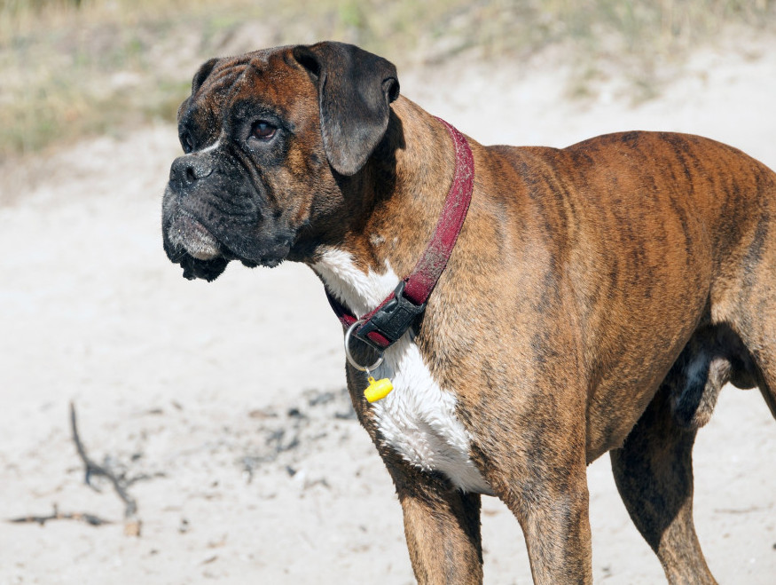 top 10 working dog breeds boxer