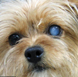 Do dogs get cataracts - cloudy eye