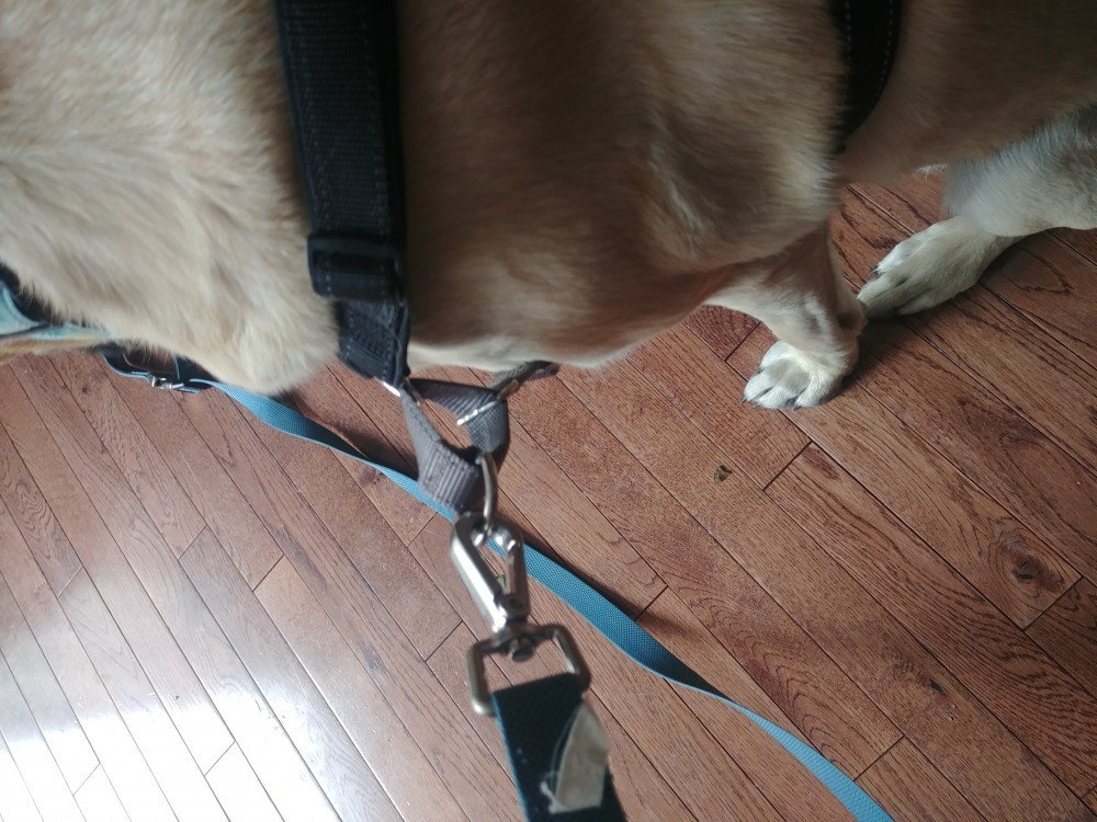 PetSafe 3 in 1 no pull dog harness on dog with leash loose pull
