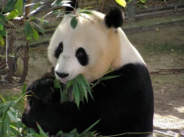 Pandas prefer to be a vegan.