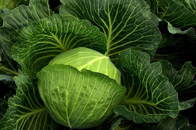 Cabbage for Constipation