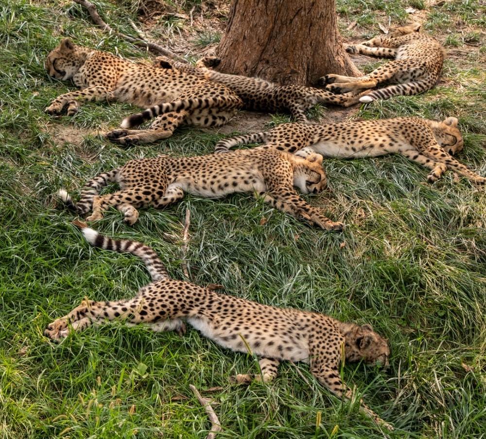 Napping Cheetahs