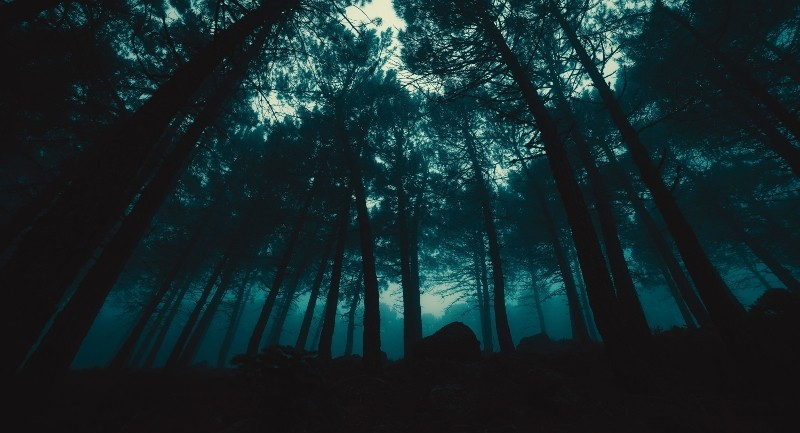 Bottom-up image of tall trees in a forest on a dark day.