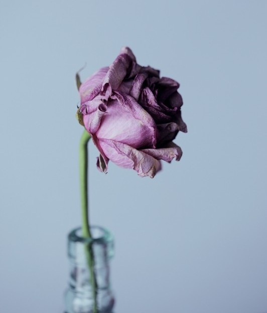 Picture of wilting pink rose in a vase.