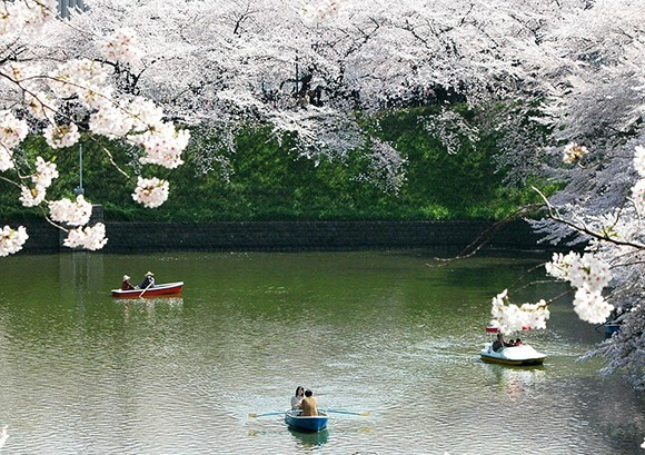 Cherry Blossoms is The Reason to Go to Japan