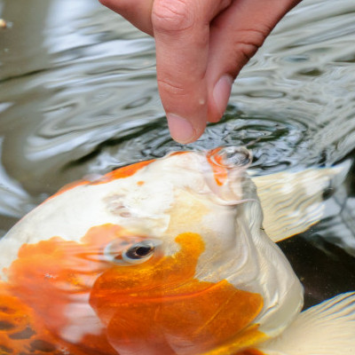 How to Feed Koi Fish By Hand