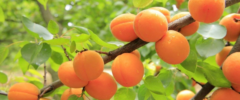 What is in Gottweig Abbey - Apricot Tree