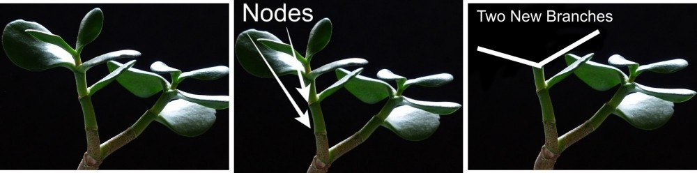 A jade plant, jade with nodes highlighted, jade with drawing of two new branches