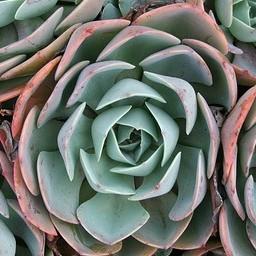 Giant Velvet Rose