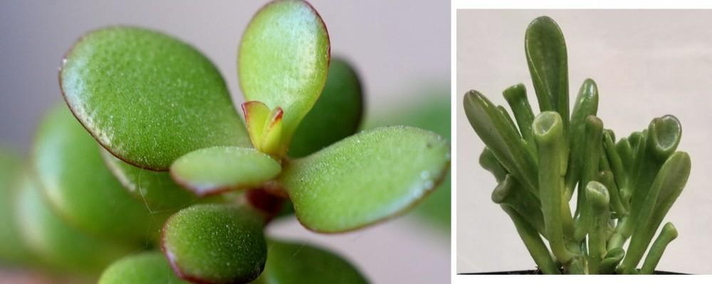 2 different 'jade' plants