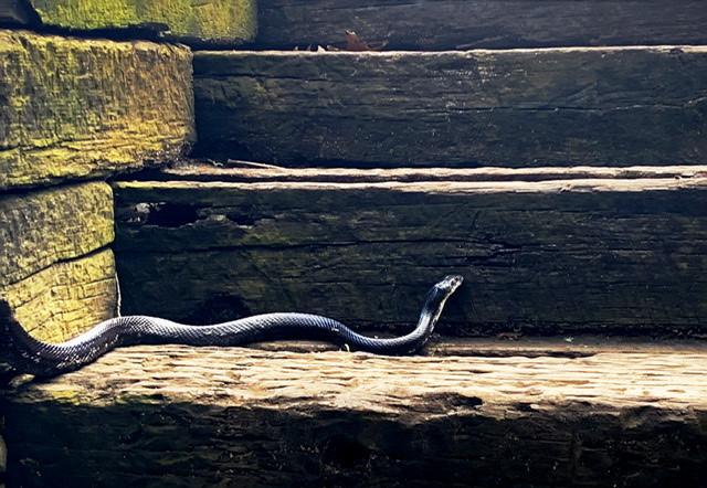 Snake At New River