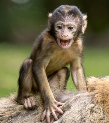 Baby monkey for esl discussion and debate