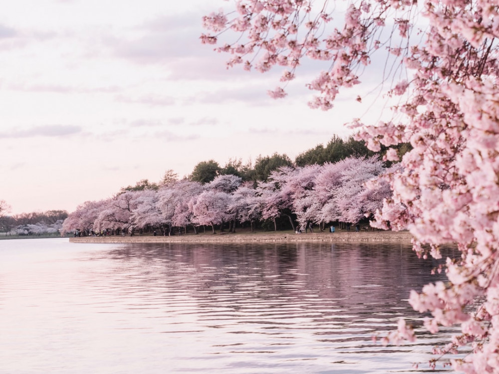 virtual trip to asia for homeschoolers - cherry blossoms