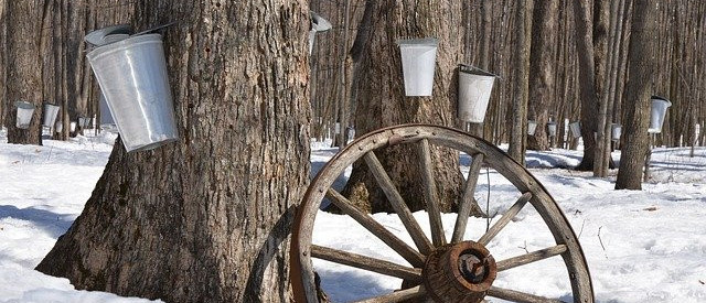 Maple-syrup-is-a-thick-sugary-liquid-made-from-the-sap-of-maple-trees