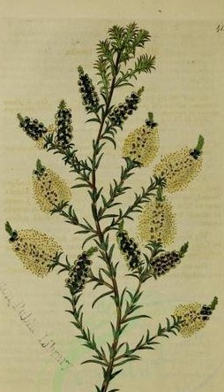 melaleuca plant