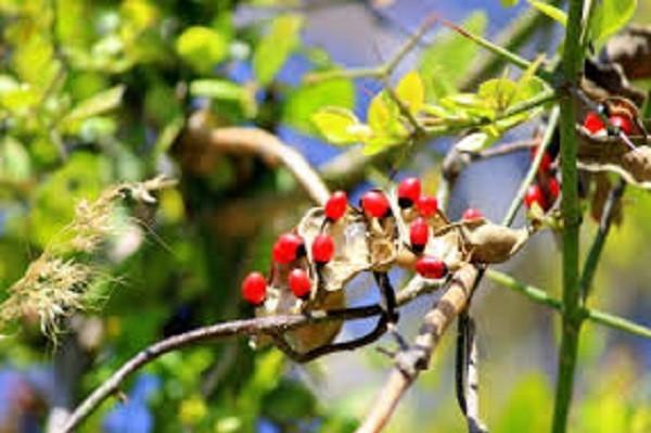 Rosary-Pea-Abrus-Precatorius