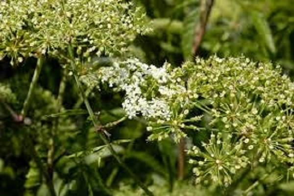 Water-Hemlock-Cicuta-Maculata