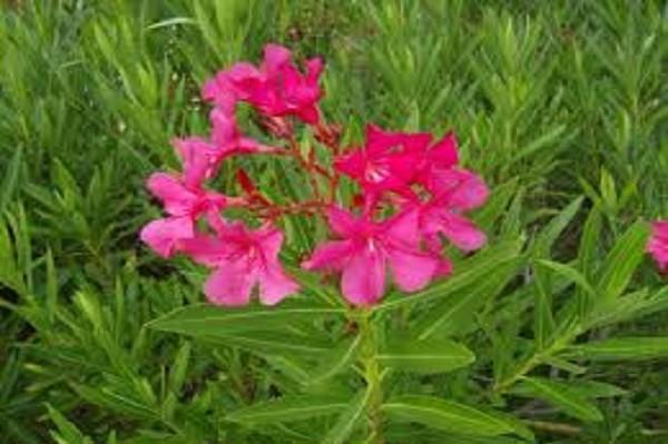 Oleander-Nerium-Oleander