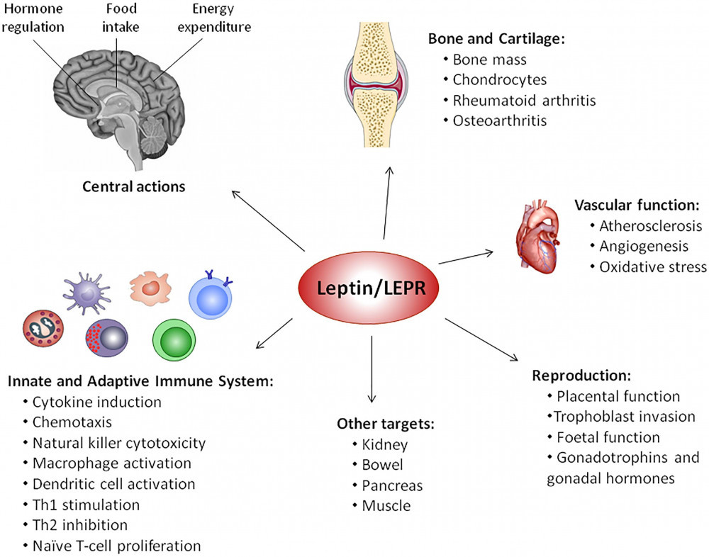 How Leptin Works