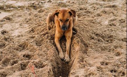 dog friendly beaches in Norfolk - Dog Digging