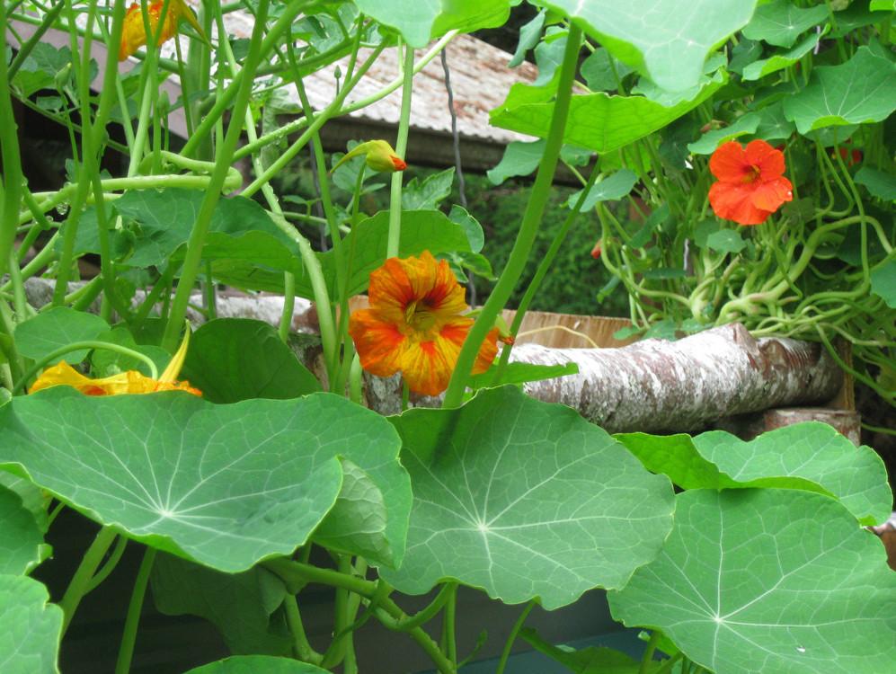 Summer solstice garden update