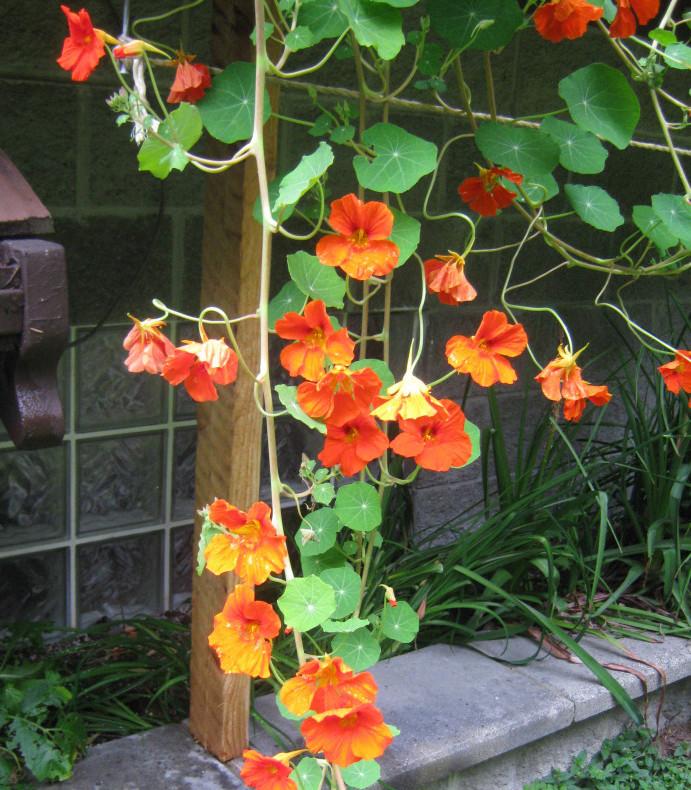 Nasturtiums Companion Planting