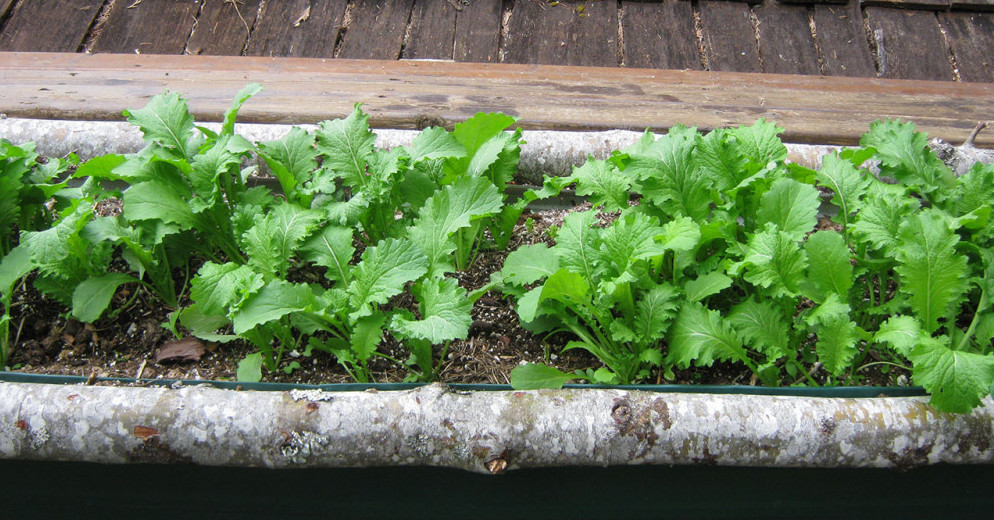 self seeded mustard greens