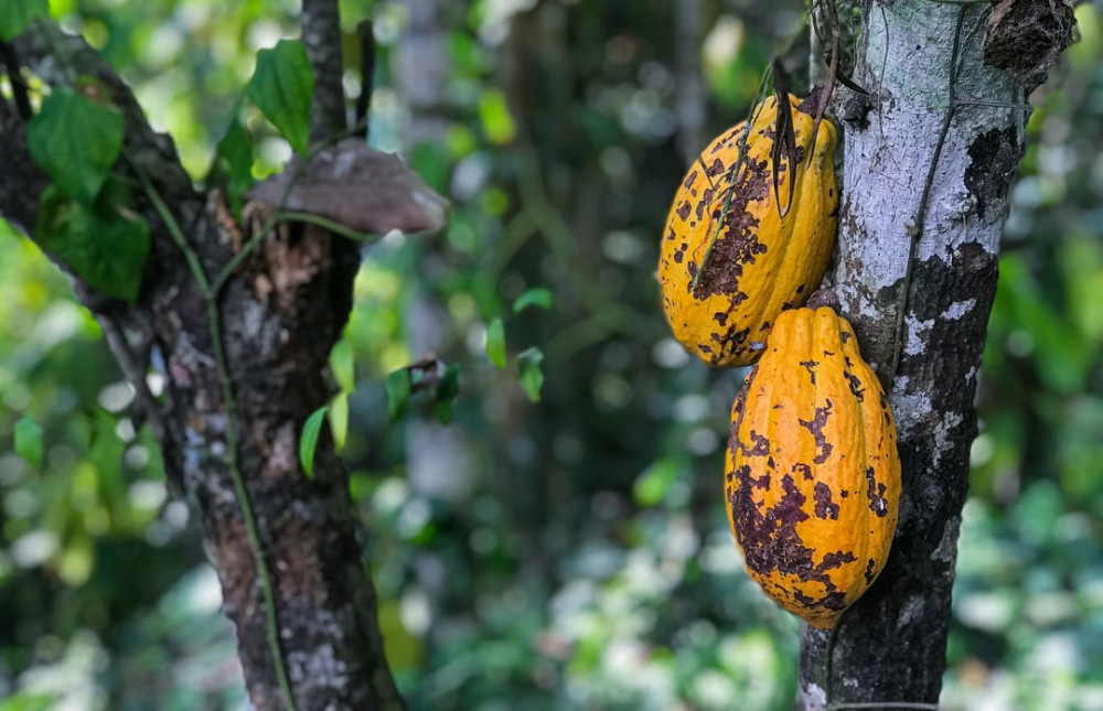 What is a metabolism booster - cocoa