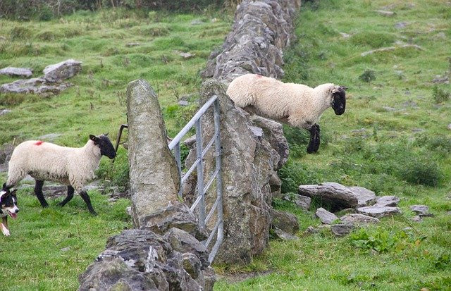 A Sheep Jumps Over a Wall With Another Sheep Just Behind Him