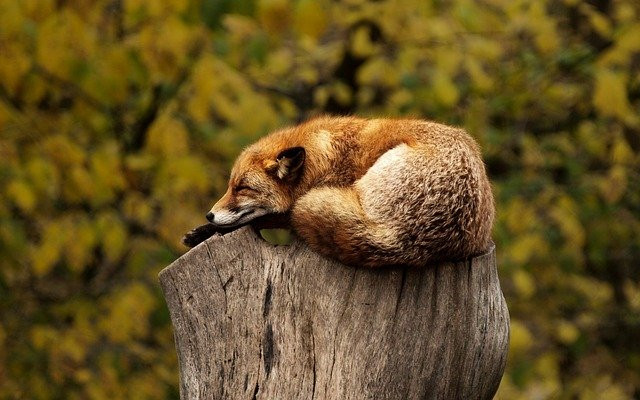 A fox lying asleep on top of a large tree stump