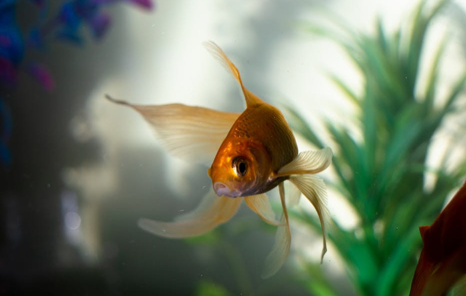 A Goldfish Swimming Around With PLants In The Background