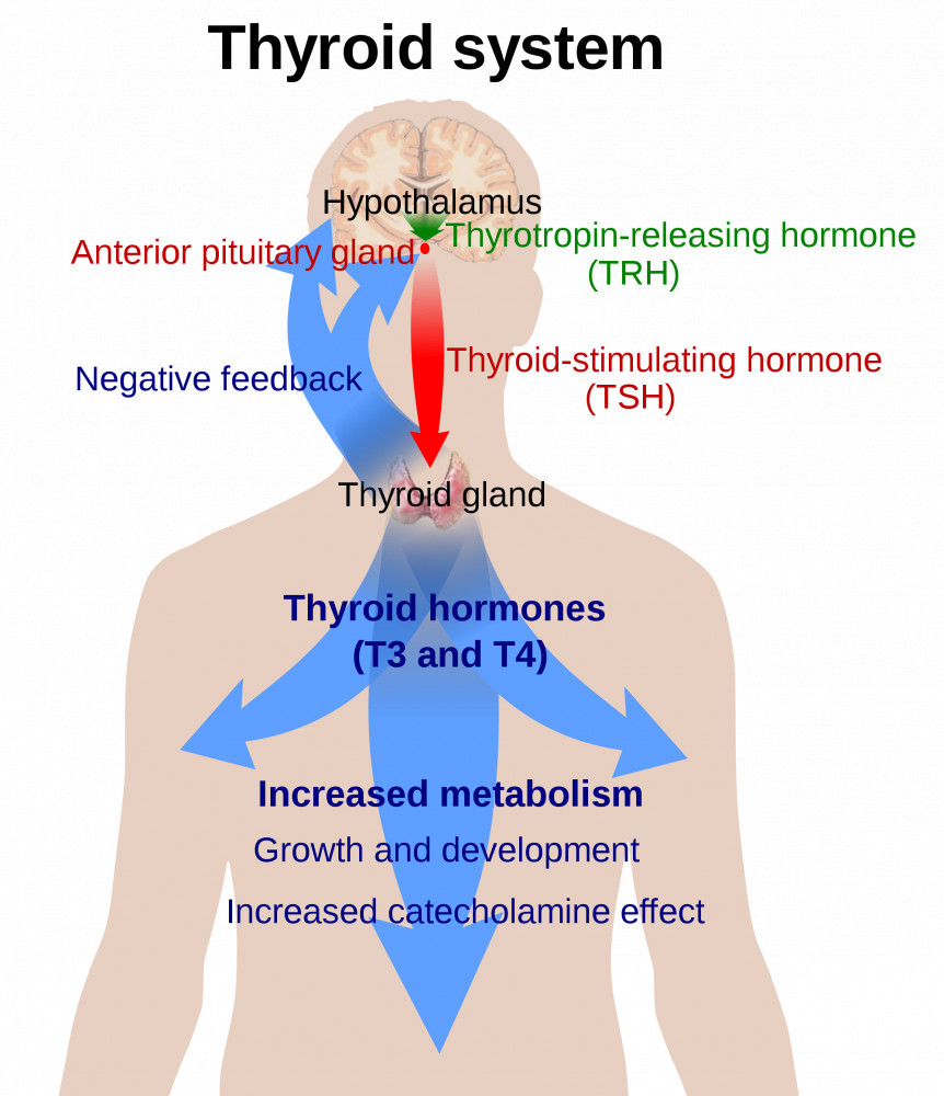 The Thyroid System