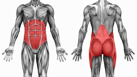 The Core Muscle - Front and Back View
