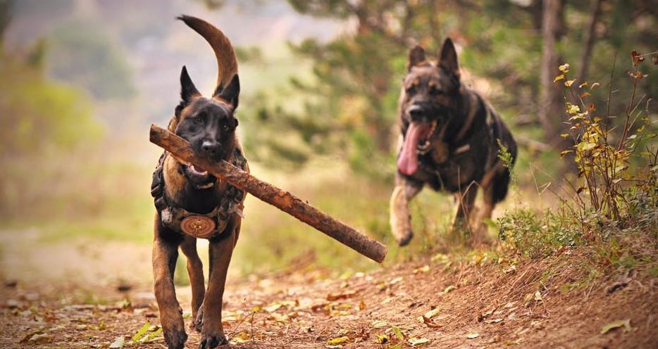 Hunder leker i skogen