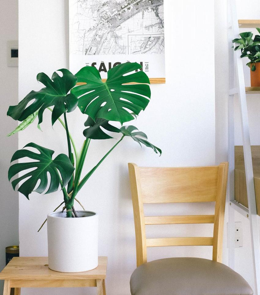Tropical Monstera Deliciosa Indoor plant   Your Casa Concept