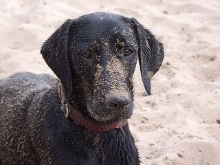 Dog with Sand on Face