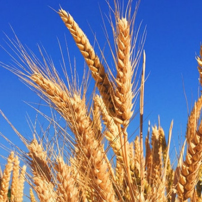 Wheat like alcohol is hidden in foods
