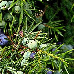 Junipers for Alcohol Free Gin