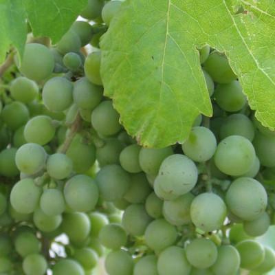 Grapes and Non Alcoholic Wine