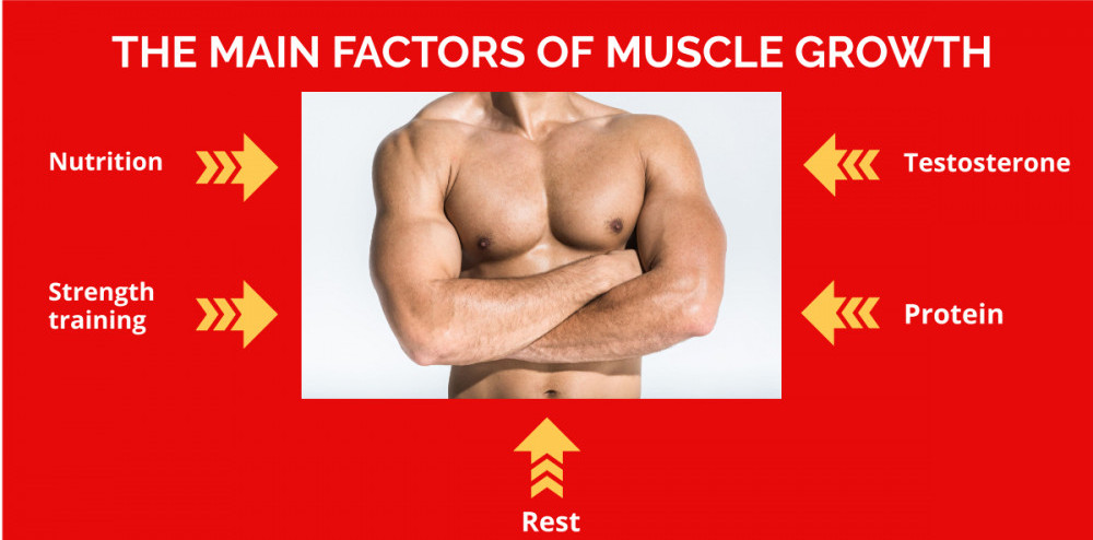 Graphic listing five main factors in muscle growth