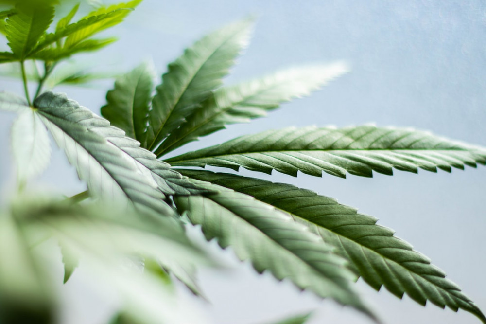A close up of the leaves of the Cannabis Sativa plant