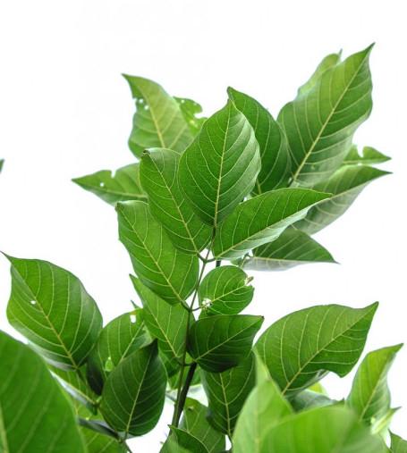 camelia plant, tea plant