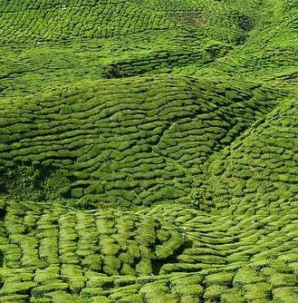 Health Benefits of Organic Green Tea, green tea garden, tea plantage