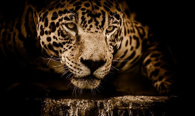 Image of the head of a jaguar in sepia tones