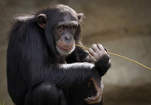 Chimpanzee with a twig in its mouth