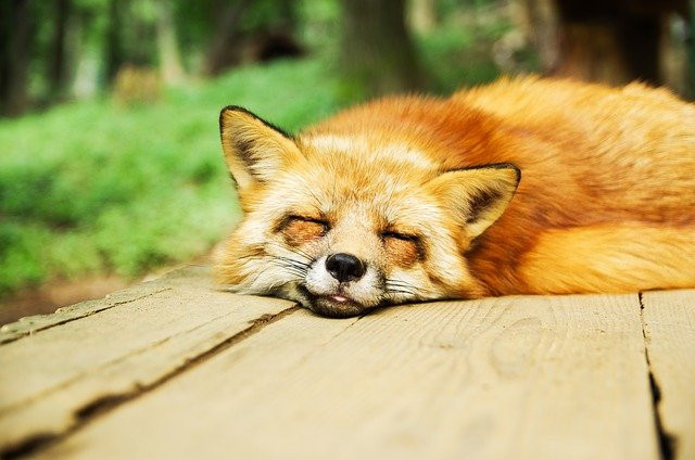 Fox sleeping on a wooden surface with its tongue showing slighlty