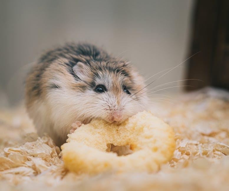 hamster eating cookie