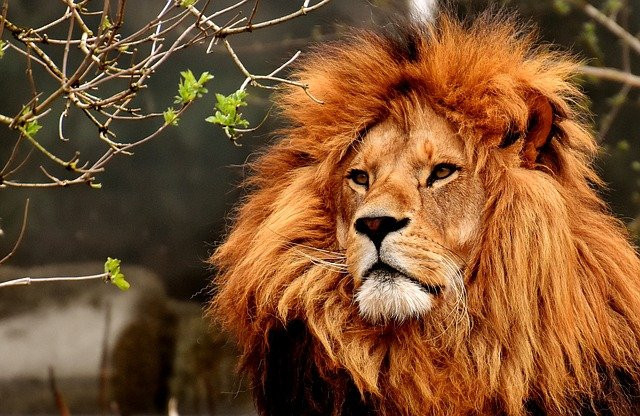 Photo of a lion looking magnificent