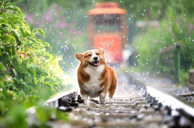 corgi on train tracks
