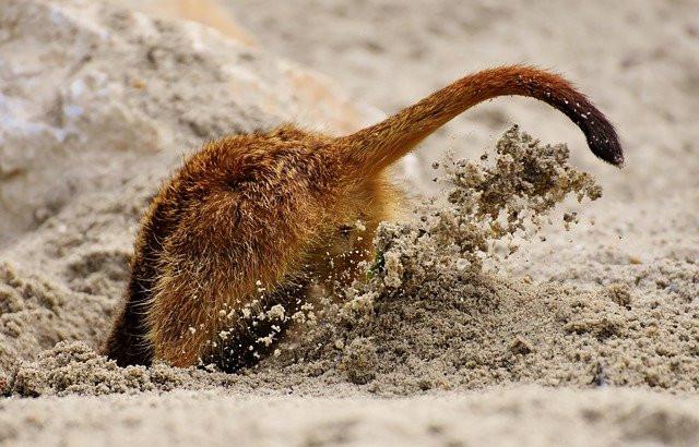 Digging creature